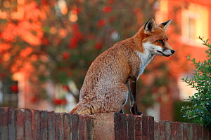 Red fox cub (Vulpes vulpes) on fence, Hampshire, England, UK, October. - Peter Lewis