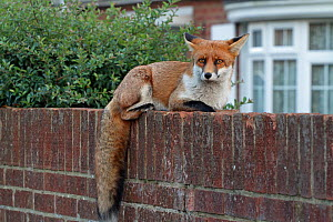 Red fox cub (Vulpes vulpes) on wall, Hampshire, England, UK, October. - Peter Lewis