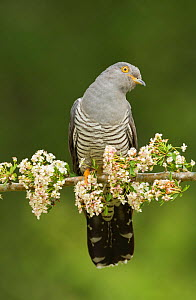 Common Cuckoo (Cuculus canorus) calling perched on branch of Hawthrorn(Cratageus monogyna) Surrey, England, UK. May.  -  Peter Lewis