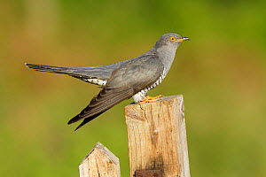 Common Cuckoo (Cuculus canorus) on gate post Surrey, England, UK. May.  -  Peter Lewis