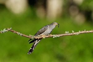 Common Cuckoo (Cuculus canorus) perched on branch with caterpillar Surrey, England, UK. August.  -  Peter Lewis