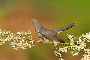 Common Cuckoo (Cuculus canorus) perched on branch of Hawthrorn (Cratageus monogyna) Surrey, England, UK. May.  -  Peter Lewis