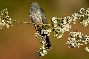 Common Cuckoo (Cuculus canorus) perched on branch of Hawthrorn (Cratageus monogyna) Surrey, England, UK.  -  Peter Lewis