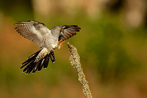 Common Cuckoo (Cuculus canorus) wings open landing on post Surrey, England, UK.  -  Peter Lewis
