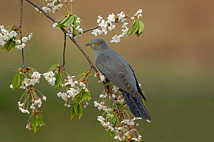 Common Cuckoo (Cuculus canorus) perched on Cherry tree blossom Surrey, England, UK. April.  -  Peter Lewis