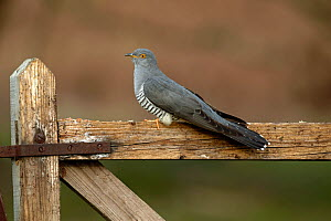 Common Cuckoo (Cuculus canorus) perched on gate Surrey, England, UK. April.  -  Peter Lewis
