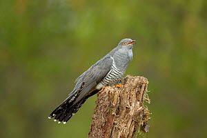 Common Cuckoo (Cuculus canorus) calling on rotten post Surrey, England, UK.  -  Peter Lewis
