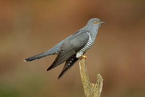 Common Cuckoo (Cuculus canorus) perched on post Surrey, England, UK.  -  Peter Lewis
