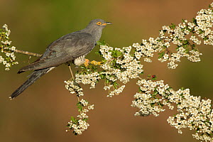 Cuckoo (Cuculus canorus) perched on Hawthorn blossom, Surrey, England, May.  -  Peter Lewis