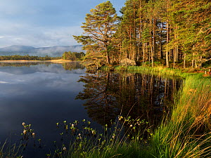 Loch Mallachie in early morning light with Bogbean (Menyanthes trifoliata) in the foreground. RSPB Abernethy Forest National Nature Reserve, Cairngorms National Park, Highland Region, Scotland, UK, Ma...  -  Mike Read