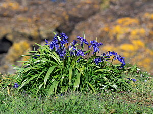 Bluebell (Hyacinthoides non-scripta) on a coastal cliff, Lunga Island, Treshnish Isles, Inner Hebrides, Scotland, UK, May  -  Mike Read