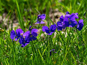 Long-spurred pansy (Viola calcarata) growing in a wildflower meadow, Plateaux de Beurre, Vercors Regional Natural Park, France, June  -  Mike Read