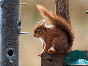 Red squirrel (Sciurus vulgaris) beside a bird feeder, Dorset Wildlife Trust Reserve. Brownsea Island, Dorset, England, UK, March  -  Mike Read