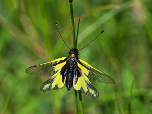 Owlfly (Libelloides coccajus) resting on a grass stem, near the Col de Menee, Vercors Regional Natural Park, France, June  -  Mike Read