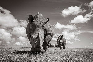White rhino (Ceratotherium simum) group. Solio Game Reserve, Solio Ranch, Kenya. Taken with remote camera buggy / BeetleCam.  -  Will Burrard-Lucas