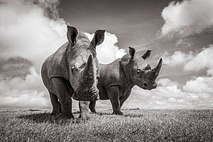 White rhinoceroses (Ceratotherium simum), Solio Game Reserve, Solio Ranch, Kenya. Taken with remote camera buggy / BeetleCam.  -  Will Burrard-Lucas