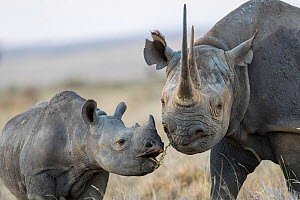 Black rhinoceros (Diceros bicornis) mother and calf, Lewa & Borana Conservancy, Kenya.  -  Will Burrard-Lucas