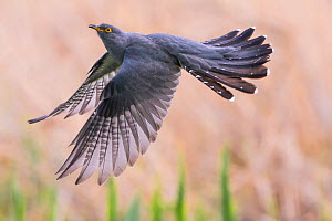 Cuckoo (Cuculus canorus) in flight, Germany, April.  May  -  Hermann Brehm
