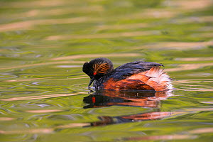 Black-necked grebe (Podiceps nigricollis) on water, Germany. May  -  Hermann Brehm