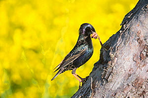 Starling (Sturnus vulgaris) feeding young at the nesthole, Germany. May  -  Hermann Brehm