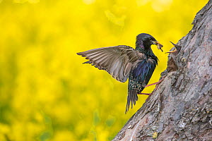 Starling (Sturnus vulgaris) at the nesthole, Germany. June  -  Hermann Brehm