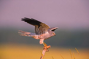 Montagu's harrier (Circus pygargus) male balancing on post, Germany. June  -  Hermann Brehm