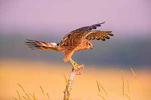 Montagu's harrier (Circus pygargus) female balancing on post, Germany. June  -  Hermann Brehm
