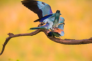 Eurasian rollers (Coracias garrulus) pair mating on branch, Hungary. June  -  Hermann Brehm