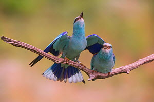 Eurasian rollers (Coracias garrulus) courting on branch, Hungary. June  -  Hermann Brehm