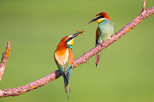 Bee-eater (Merops apiaster) male offering wasp as nuptial gift, Hungary. June - Hermann Brehm