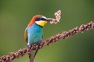 Bee-eater (Merops apiaster) with butterfly prey, Hungary. June - Hermann Brehm