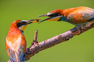 Bee-eater (Merops apiaster) nuptial gift of insect prey, Hungary. June - Hermann Brehm