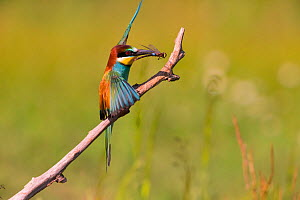 Bee-eater (Merops apiaster) with dragonfly prey, Hungary. June - Hermann Brehm
