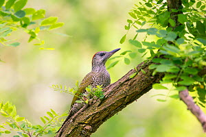 Green woodpecker (Picus viridis) juvenile, Hungary. June  -  Hermann Brehm