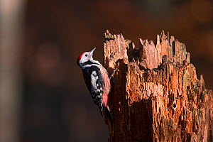 Middle Spotted Woodpecker (Dendrocopus medius) on tree stump, Germany. January  -  Hermann Brehm