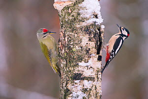 Great spotted woodpecker (Dendrocopos major) and Grey headed woodpecker (Picus canus) on tree trunk, Germany. December  -  Hermann Brehm