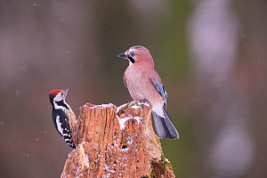 Middle spotted Woodpecker (Dendrocopus medius) and Jay (Garrulus glandarius), Germany. October  -  Hermann Brehm