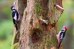 Great spotted woodpecker (Dendrocopos major) left, and Middle spotted woodpecker (Dendrocoptes medius) right, on tree trunk, Germany. March  -  Hermann Brehm