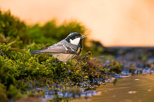 Coal Tit (Parus ater) by pond, Germany. April  -  Hermann Brehm