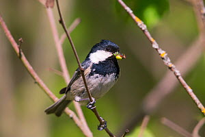 Coal Tit (Parus ater) with food for the chicks, Germany. April  -  Hermann Brehm