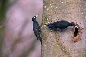 Black Woodpecker (Dryocopus martius) male and female, at the nesthole, Germany. December  -  Hermann Brehm
