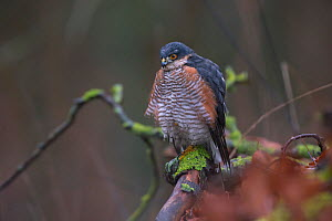 Sparrowhawk (Accipiter nisus) male, Germany. December - Hermann Brehm