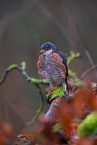 Sparrowhawk (Accipiter nisus) male, perched, Germany. January - Hermann Brehm