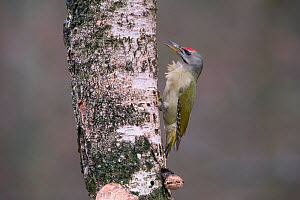 Grey-headed Woodpecker(Picus canus) male on tree trunk, Germany. January  -  Hermann Brehm