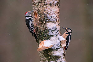 Great spotted woodpecker (Dendrocopos major) right, and Middle spotted woodpecker (Dendrocoptes medius) left, on tree trunk, Germany. April - Hermann Brehm