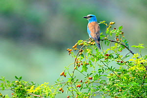 European roller (Coracias garrulus) perched on Dog -rosehips (Rosa canina), Danube Delta, Romania. July.  -  Andres M. Dominguez
