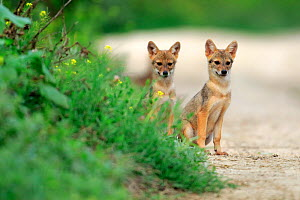 Two Golden jackal (Canis aureus) pups sitting on a path by a grassy verge, Danube Delta, Romania, July.  -  Andres M. Dominguez