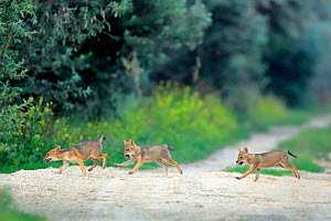 Three juvenile Golden jackal (Canis aureus) pups running across a path, Danube Delta, Romania, July.  -  Andres M. Dominguez