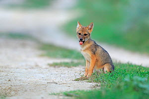 Golden jackal (Canis aureus) pup sitting on a grassy verge by a path, Danube Delta, Romania, July.  -  Andres M. Dominguez