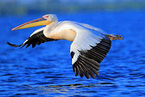 Great white pelican (Pelecanus onocrotalus) flying over water, Danube Delta, Romania. July.  -  Andres M. Dominguez